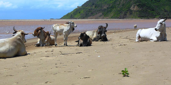 The Mzimvubu Herd on First Beach, Port St Johns