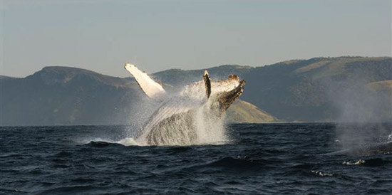 Experience whale watching on the Wild Coast