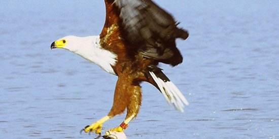 The African Fish Eagle, one of the species that inhabits Port St Johns