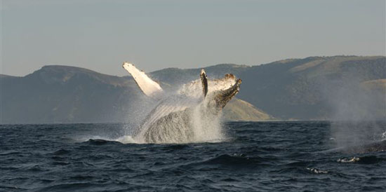 A Humpback whale offshore of Port St Johns